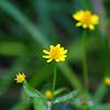 Tiny Yellow Daisy