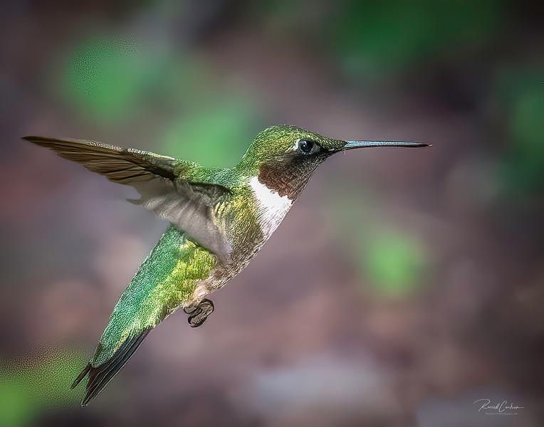 Female Hummingbird In Flight