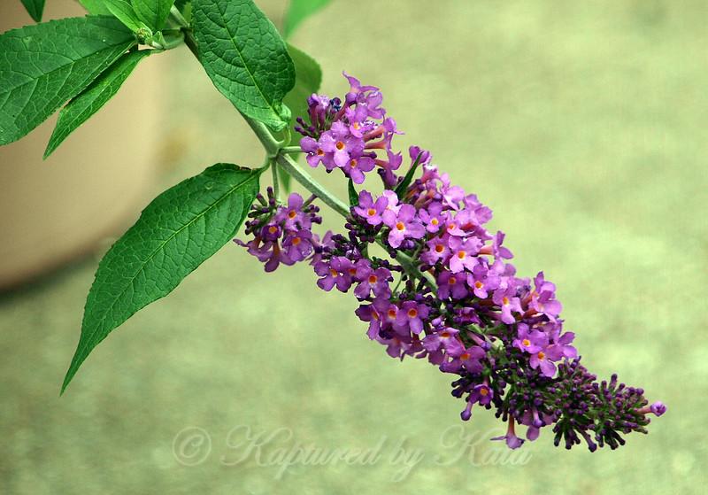 Magenta Butterfly Bush