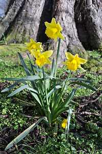 Daffodils In St Wendreda's Churchyard