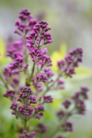 Lilac buds macro