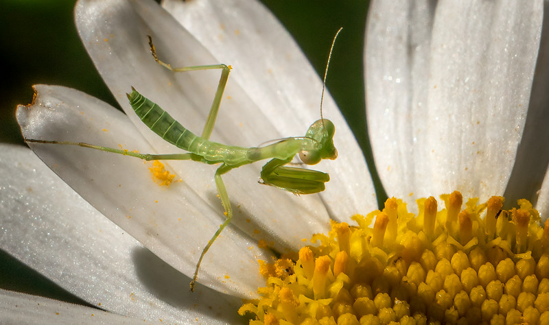 Praying Mantis on Daisy 3