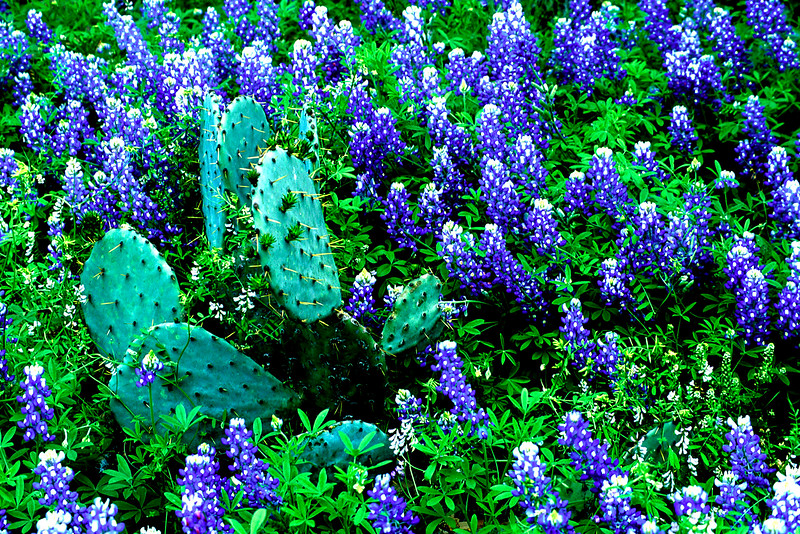 Bluebonnets & Catcus