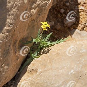 Coarse Rocket Diplotaxis harra Growing Between Limestone Boulders in the Negev Desert