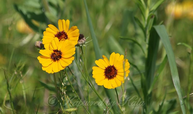Beautiful Native Wildflower