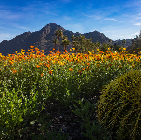 Wildflowers and Piestewa Peak