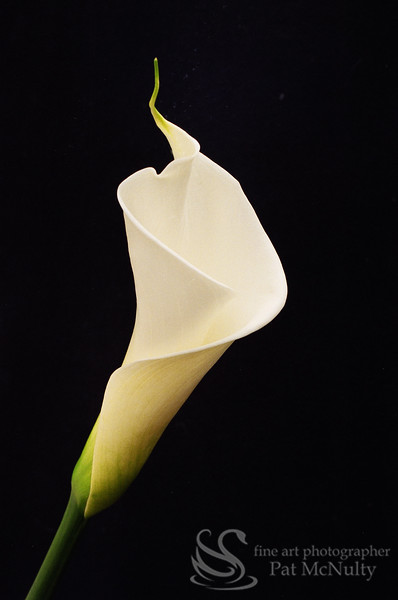 Flower Calla Lilly Picture