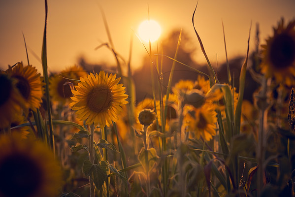 Sunflowers and Sunsets