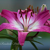 Asiatic Lily Flower 1