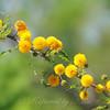 Sweet Acacia  Tree