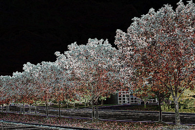 Manipulated Acer rubrum, the red maple,  swamp, water or soft maple,