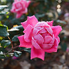 Beautiful frosty pink rose in the garden,.