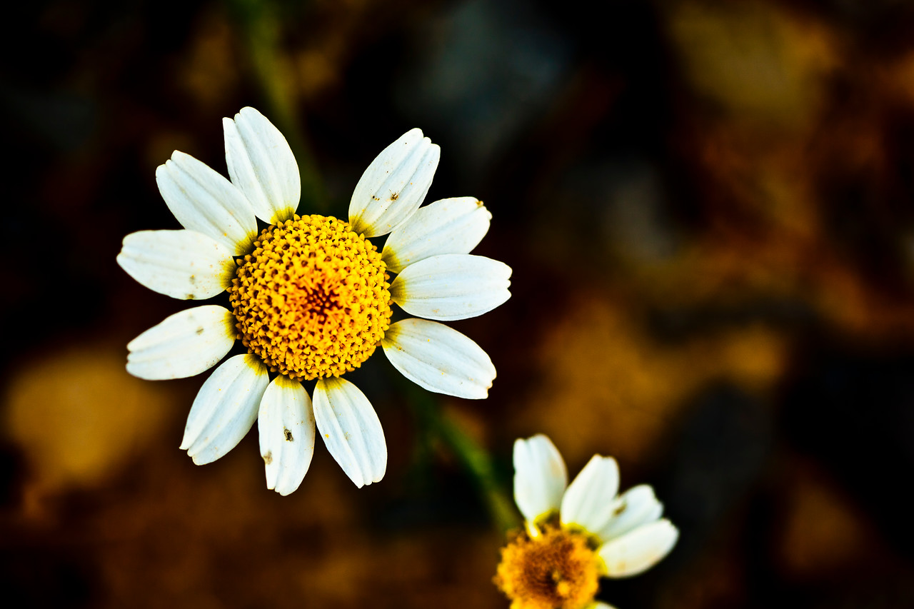 Chamomile Flower In Decay
