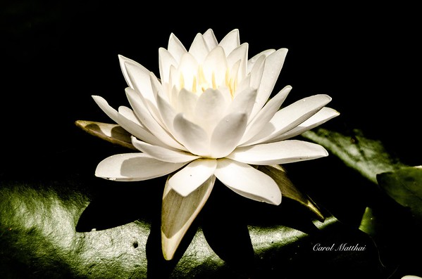 Spotlight on a white water lily