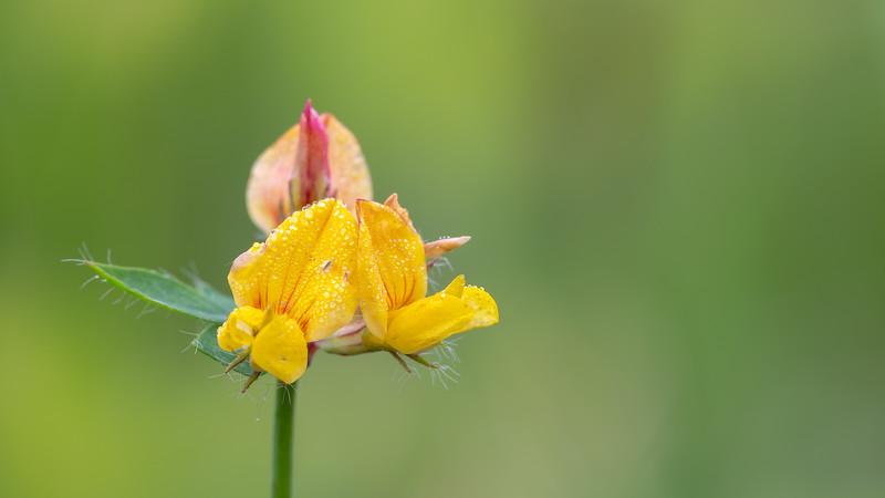Lotus corniculatus var. corniculatus / Gewone rolklaver