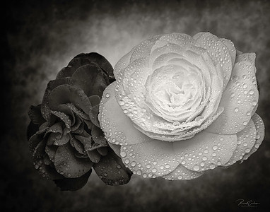 Two Camellias (B&W)