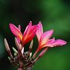 Vireya Flower
