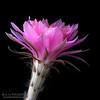 Cactus Flute