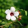 Halberd-leaf Rosemallow