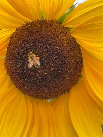 Pollen laden Bee and the Sunflower!