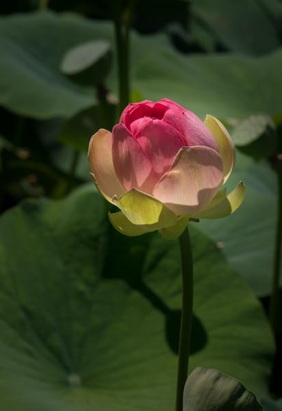 Water Lotus 3959