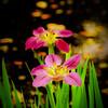 Pink and Green, Zilker Botanical Gardens