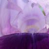 Purple Iris 143