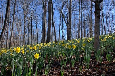 Amaryllidaceae -  Narcissus - Daffodil