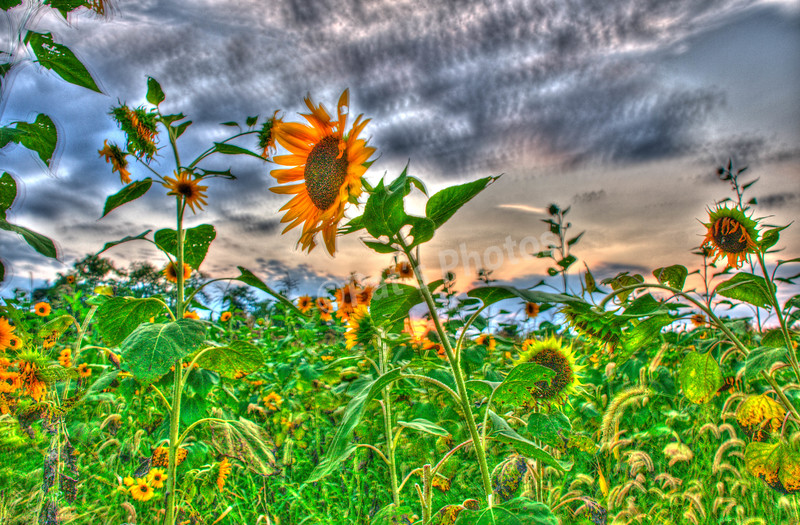 Sunflower in HDR