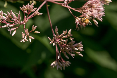 Bee & Joe Pye Weed