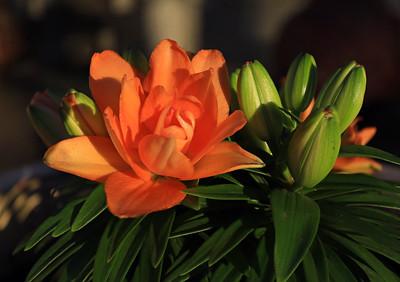 Spring Time Orange Lily