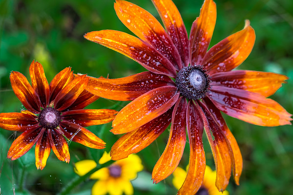 Red Orange Brown Eyed Susan