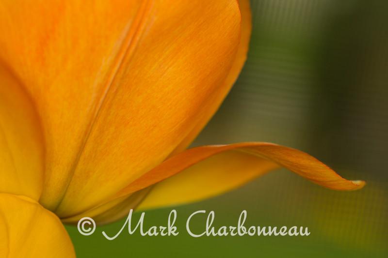 yellow Tulip petals