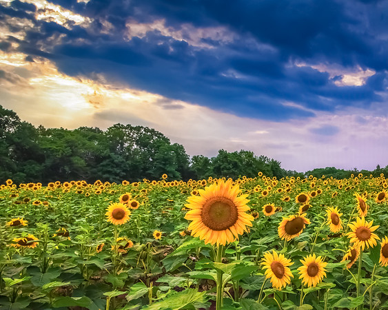 Sunflowers Beneath the Clouds