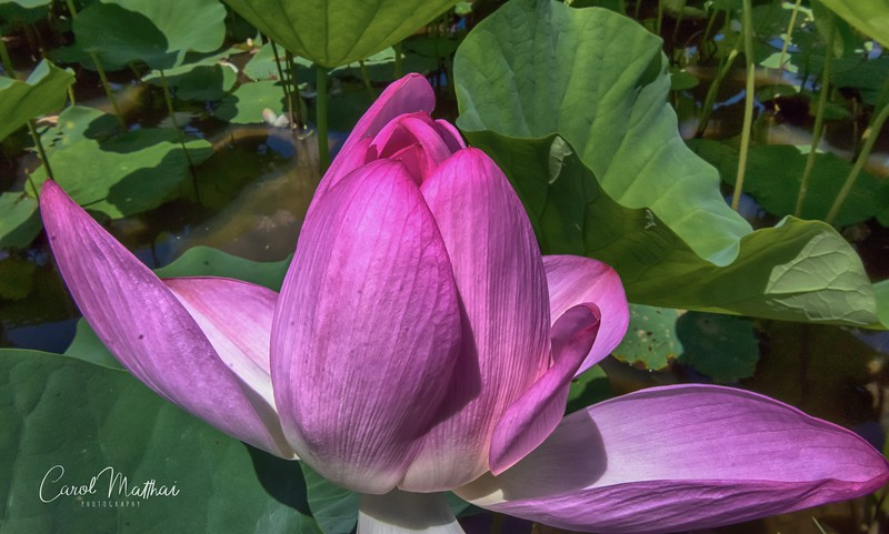 Lotus blooming open