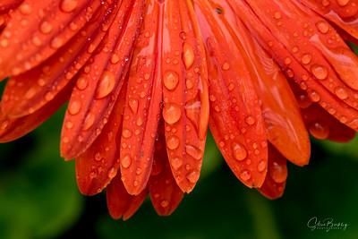 Orange Flower in Rain