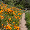 California Poppies & Trail