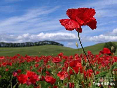 Poppy Flowers in Monteroni D'Arbia, Tuscany, Italy