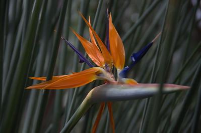 Strelitziaceae -  Strelitzia reginae - Bird of Paradise