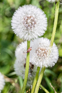 Orange Insect On Dandelion Seed Heads