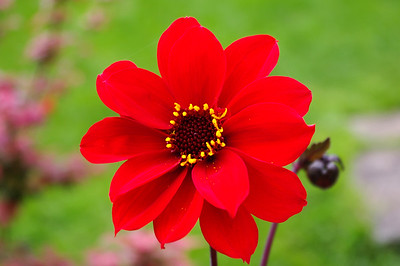 Red Bishop of Llandaff dahlia.
