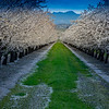 Almond Orchard Bloom 1698