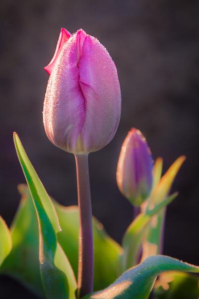 Frosty Tulip