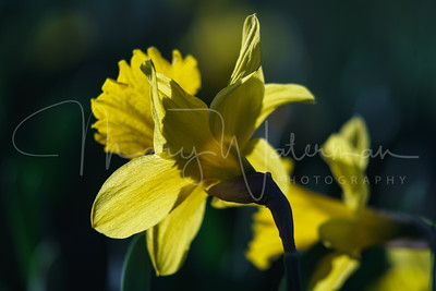Backlit Daffodil