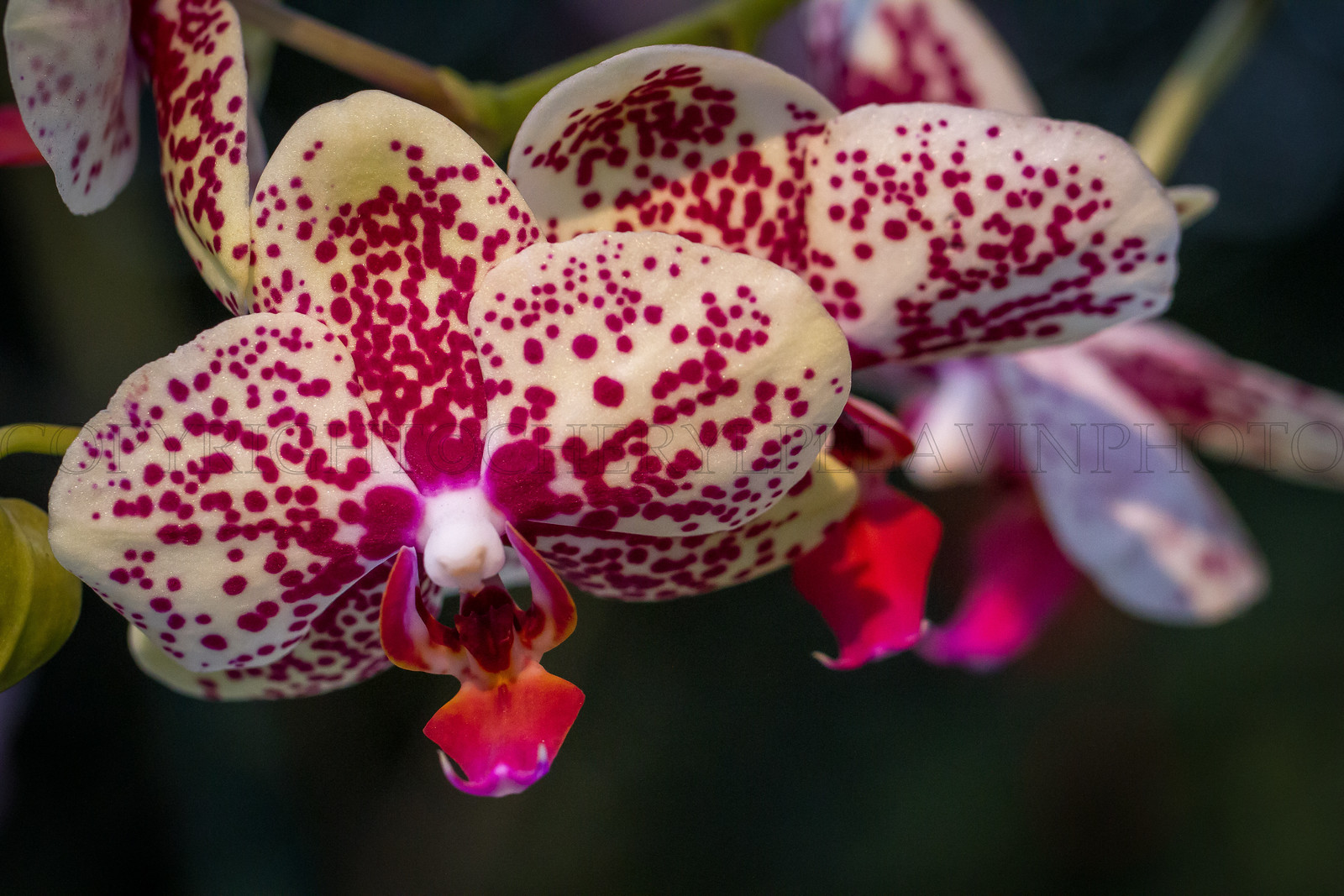 Scarlet Spotted Yellow Orchids