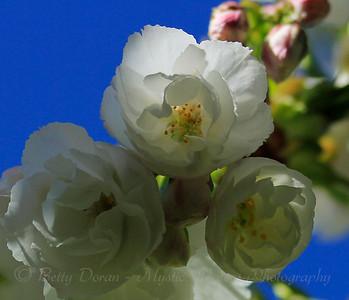 Springtime and Cherry Blossoms