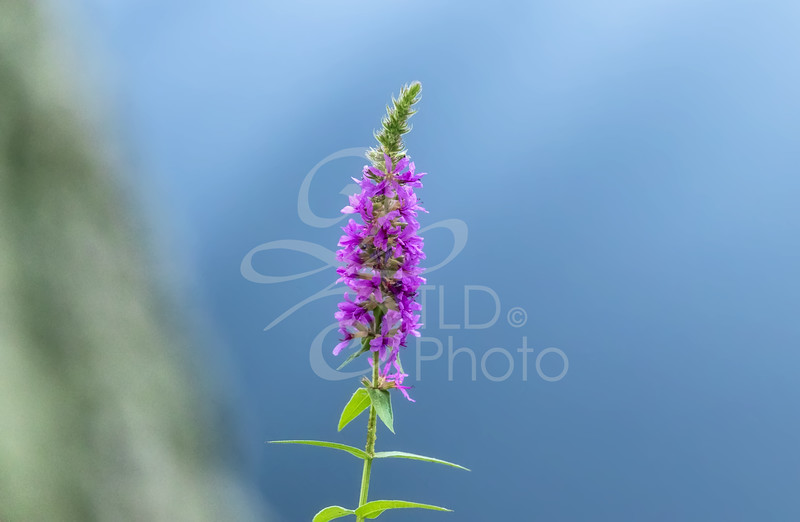 TLD_Purple Stem Flower