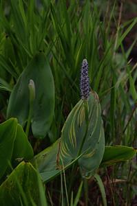 Pontederiaceae -  Pontederia cordata - Pickerelweed