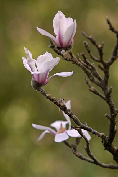 Magnolias, Golden Gate Park, San Francisco, CA