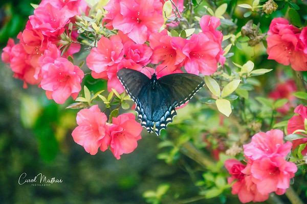 Black Swallowtail Butterfly on bright Azaleas